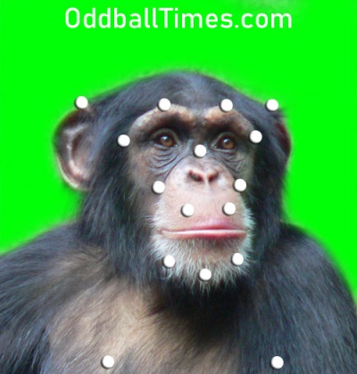 A chimpanzee actor being motion captured using sensors or markers and a green screen. By Oddball Times